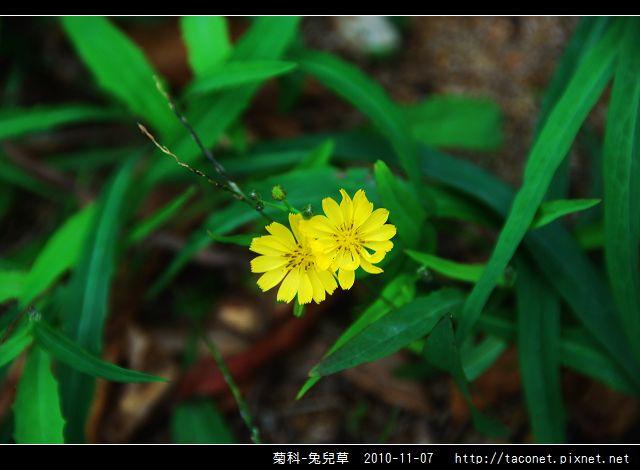 菊科-兔兒草_01.jpg
