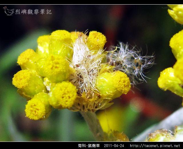 菊科-鼠麴草_08.jpg