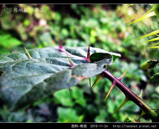 茄科-刺茄_05.jpg