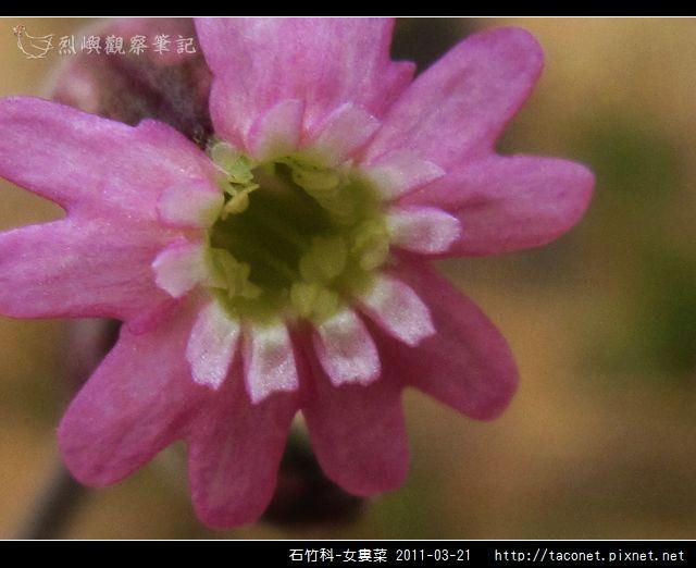 石竹科-女婁菜_16.jpg