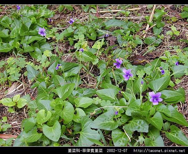 堇菜科-菲律賓堇菜_13.jpg