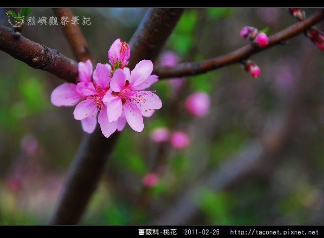 薔薇科-桃花_05.jpg