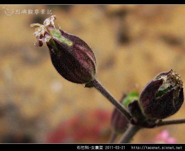 石竹科-女婁菜_10.jpg