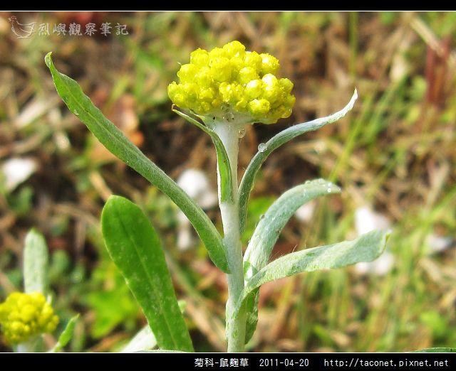 菊科-鼠麴草_04.jpg