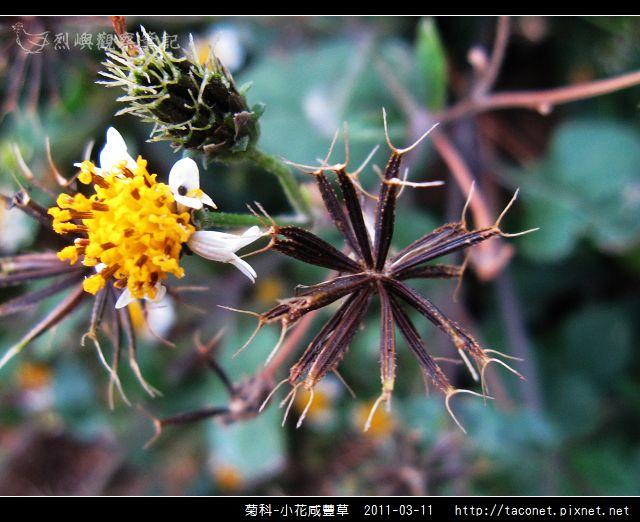 菊科-小花咸豐草_07.jpg