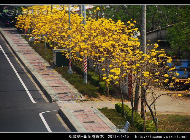 紫葳科-黃花風鈴木_21.jpg
