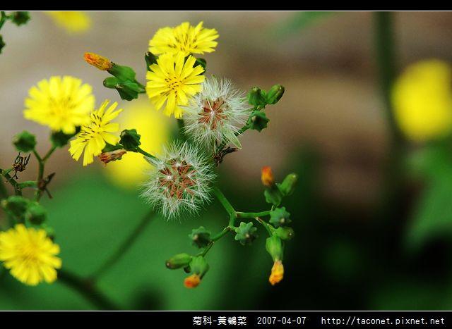菊科-黃鵪菜_07.jpg