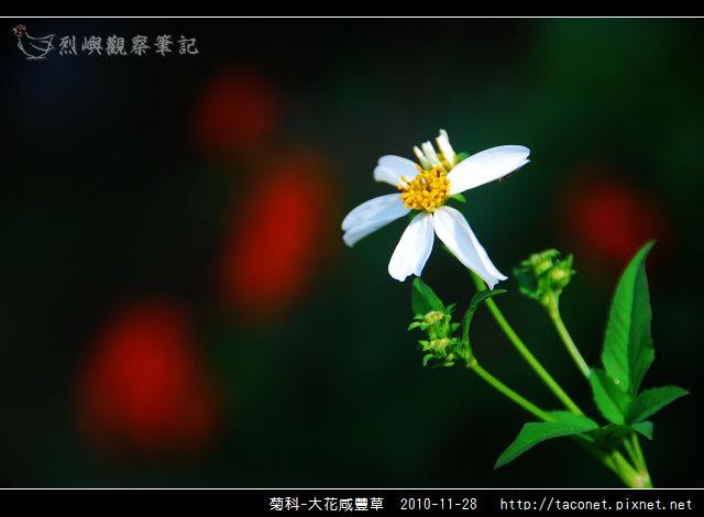 菊科-大花咸豐草_07.jpg