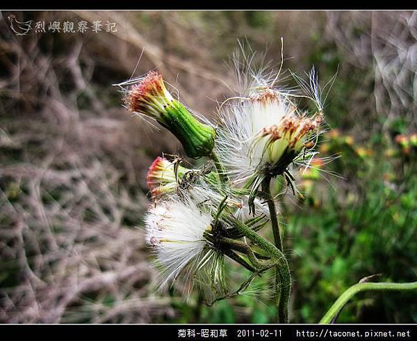 菊科-昭和草_09.jpg