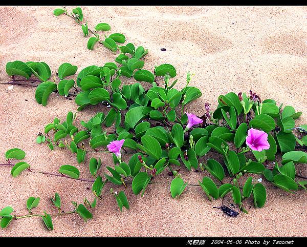 馬鞍藤_09.jpg