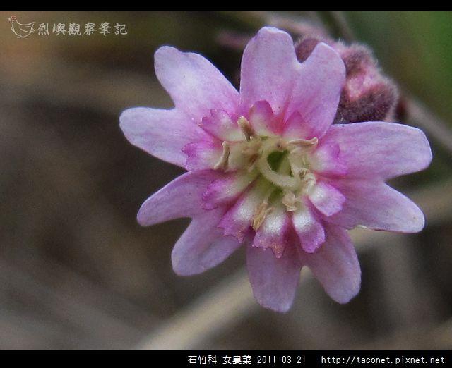 石竹科-女婁菜_14.jpg
