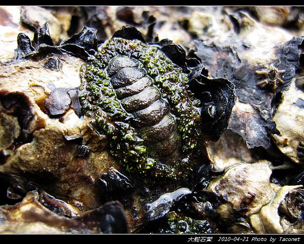 大駝石鱉_09.jpg
