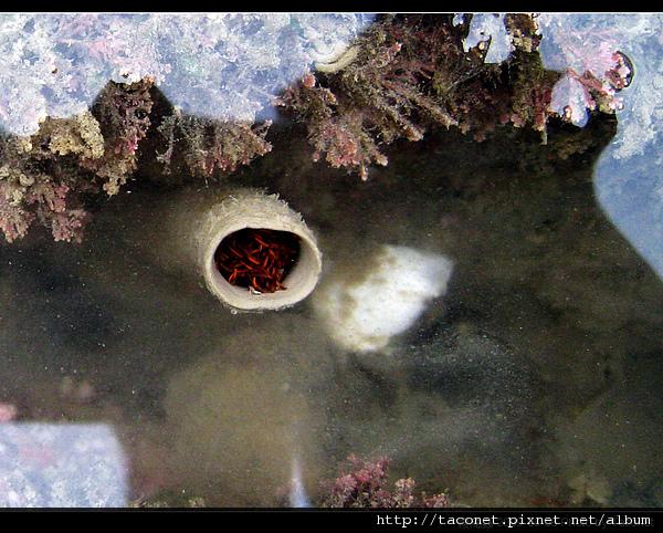 纓鰓蟲_13.jpg