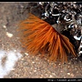 纓鰓蟲_03.jpg