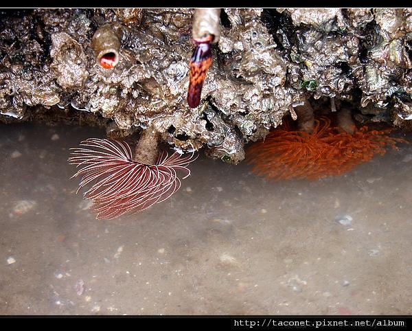 纓鰓蟲_05.jpg
