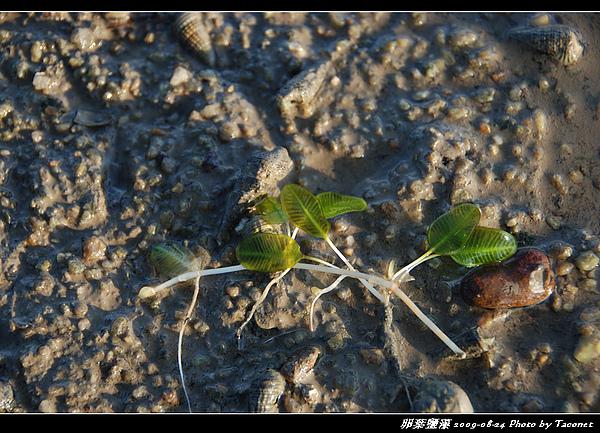 卵葉鹽藻_03.jpg