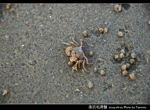 衛氏毛帶蟹_01.jpg