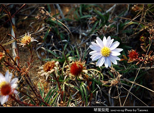 琴葉紫菀_04.jpg