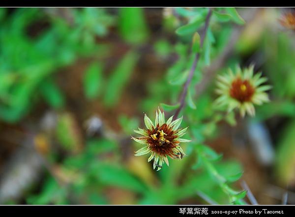 琴葉紫菀_05.jpg