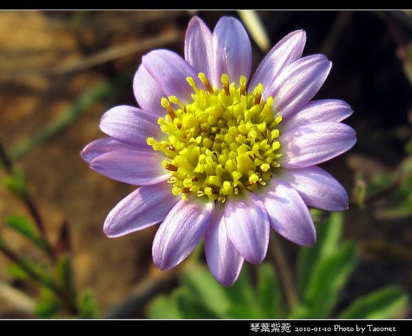 琴葉紫菀_08.jpg