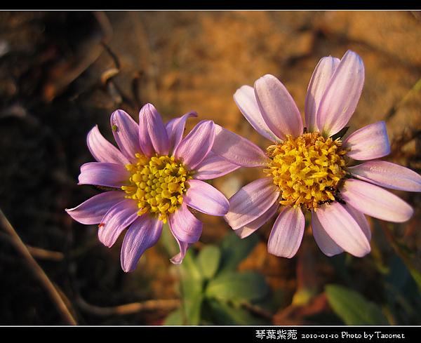 琴葉紫菀_10.jpg