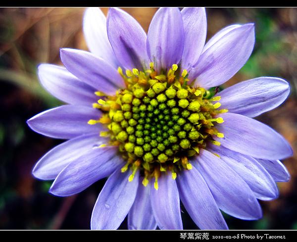 琴葉紫菀_11.jpg