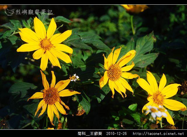 菊科-王爺葵_06.jpg