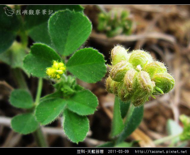 豆科-天藍苜蓿_10.jpg