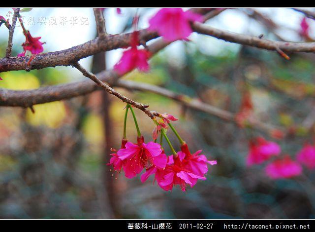 薔薇科-山櫻花_20.jpg