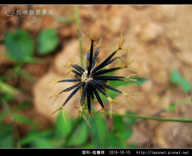 菊科-咸豐草_11.jpg