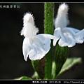 唇形科-白花草_06.jpg