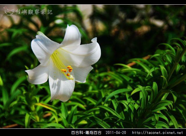 百合科-鐵炮百合_03.jpg