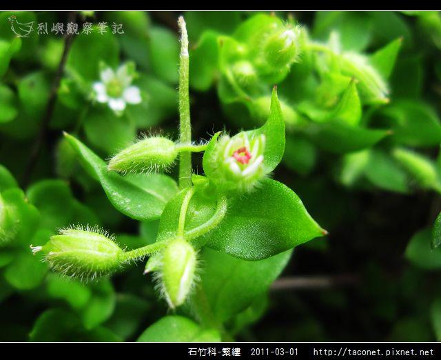 石竹科-繁縷_09.jpg