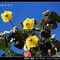 錦葵科-黃槿_13.jpg
