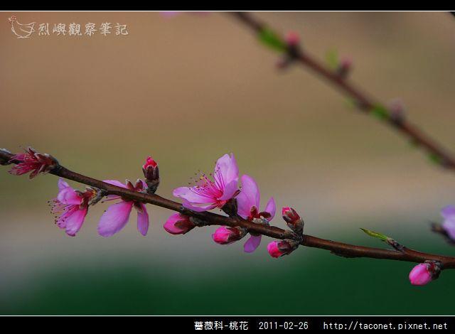 薔薇科-桃花_03.jpg