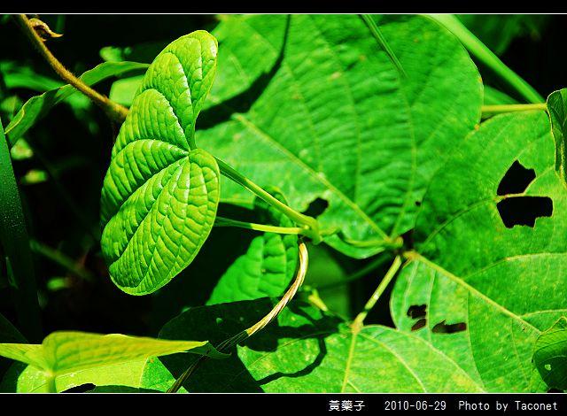 黃藥子_08.jpg