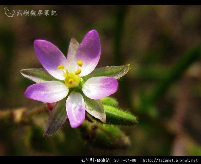 石竹科-擬漆姑_11.jpg