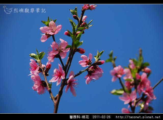 薔薇科-桃花_15.jpg