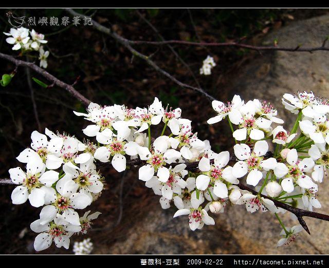 薔薇科-豆梨_13.jpg