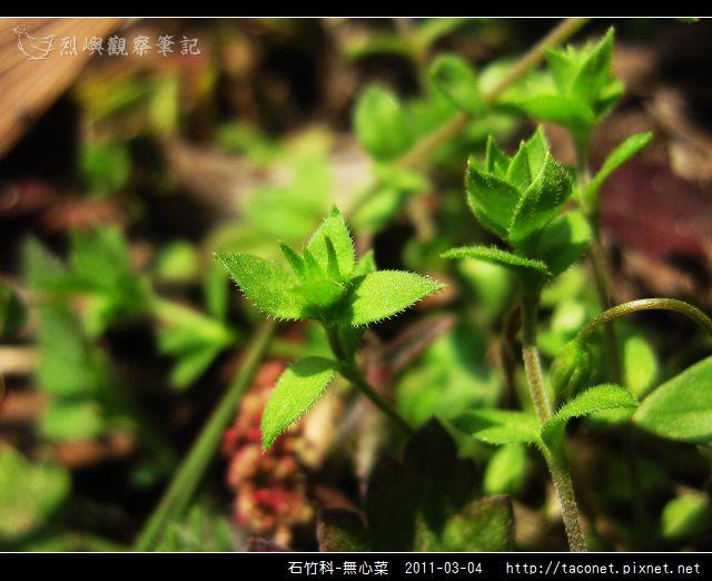 石竹科-無心菜_11.jpg