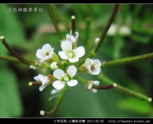十字花科-小葉碎米薺_09.jpg