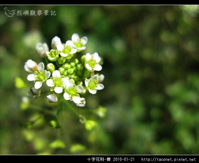 十字花科-薺_07.jpg
