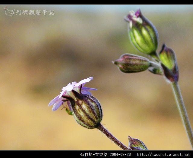 石竹科-女婁菜_04.jpg