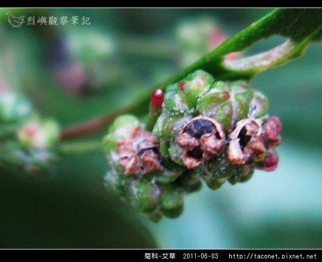 菊科-艾草_03.jpg
