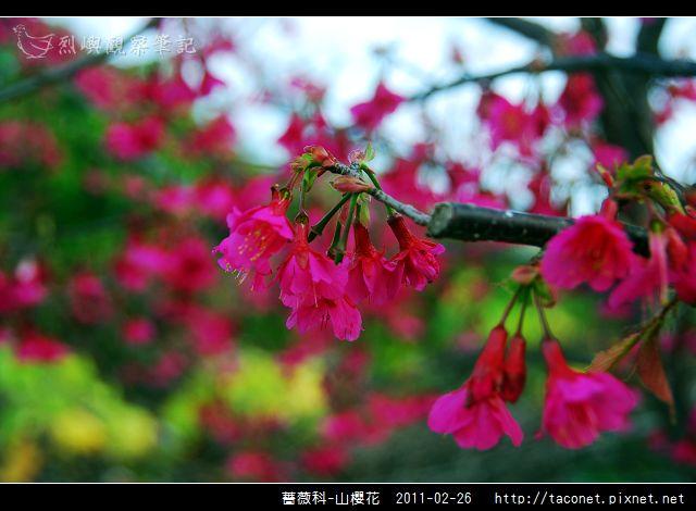 薔薇科-山櫻花_12.jpg