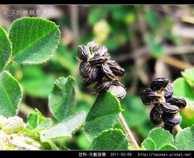 豆科-天藍苜蓿_08.jpg