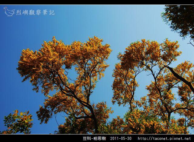 豆科-相思樹_19.jpg