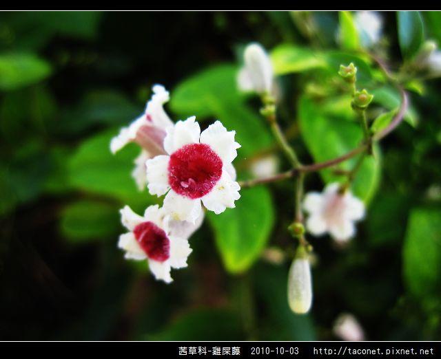 茜草科-雞屎藤_12.jpg