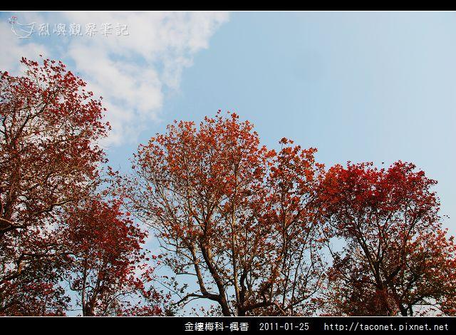 金縷梅科-楓香_10.jpg