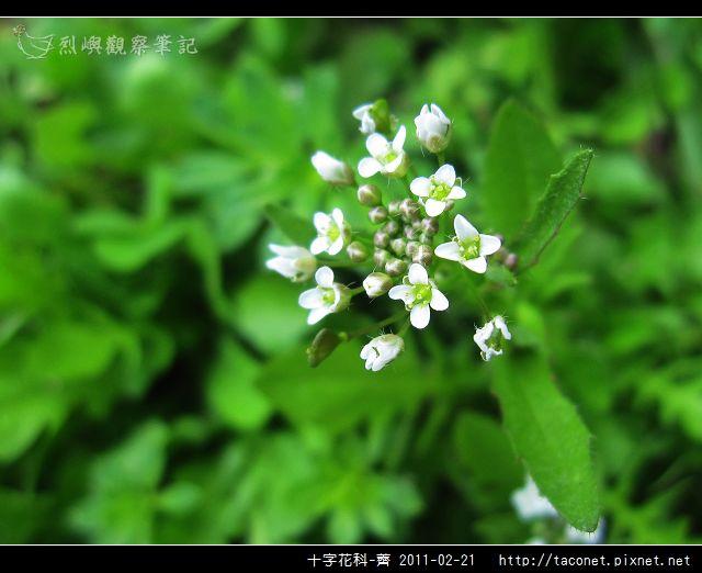 十字花科-薺_10.jpg